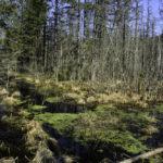 Wiosna na mokradłach Puszczy Rominckiej…