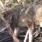 Funkcjonariusze Straży Granicznej wraz ekologami z Republiki Ściborskiej uratowali wilka