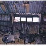 owce1
