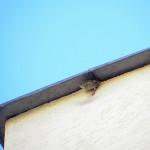 gniazdo wróbli pod blacharską obróbką dachu 1