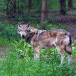 Dla odstraszania wilków