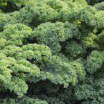 Jarmuż – kompleks witamin i pierwiastków