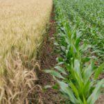 Jak kompleksowo chronić uprawy przed chwastami i chorobami?