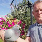 Samiczka gołębia gołdapskiego hodowcy pokonała 784 km w 7 godzin i 31 minut