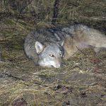 Uratowali wilka, który wpadł we wnyki